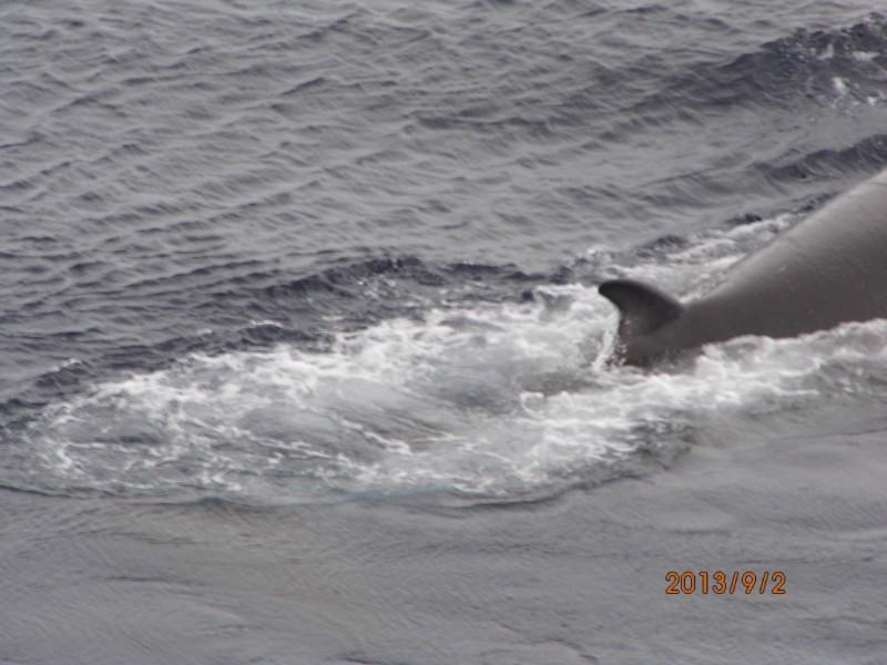 Rückenfinne eines Minkewals