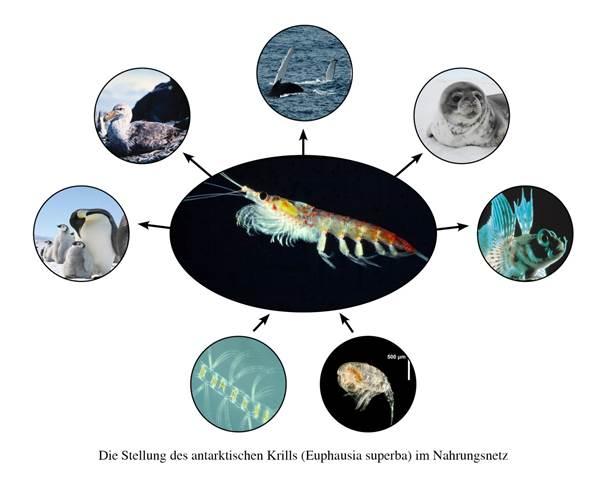 Abb. 4: Stellung im Nahrungsnetz: Die zentrale Stellung von antarktischen Krill im marinen Nahrungsnetz des Südozeans, Quelle: Alfred-Wegener-Institut